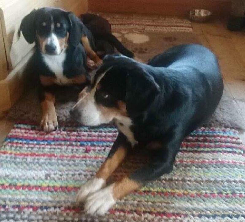 größe appenzeller sennenhund